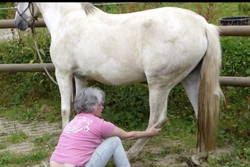 Stretching membre postérieur du cheval
